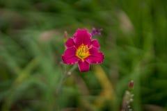 Flor roja del lirio Imagen de archivo libre de regalías