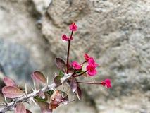 Flor roja del milii del euforbio Foto de archivo