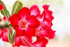 Flor roja del obesum del Adenium Fotos de archivo libres de regalías