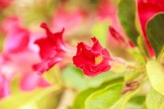 Flor roja del obesum del Adenium Imagen de archivo libre de regalías
