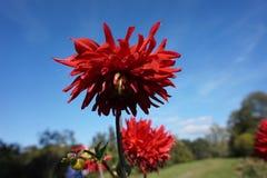 Flor roja del otoño contra el cielo fotografía de archivo