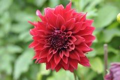 Flor roja del otoño en verde o crisantemo fotografía de archivo