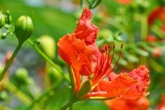 Flor roja del pavo real Imagenes de archivo