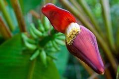 Flor roja del plátano Fotos de archivo