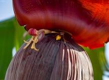 Flor roja del plátano en la palmera en Grecia fotografía de archivo libre de regalías