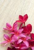 Flor roja del Plumeria Foto de archivo libre de regalías
