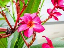 Flor roja del plumeria fotografía de archivo libre de regalías