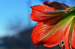 Flor roja del primer de la amarilis imagenes de archivo
