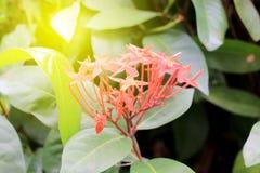 Flor roja del punto de Ixora Rey Ixora Ixora floreciente chinensis Flor del coccinea de Ixora en árbol en el jardín Flor agradabl Fotos de archivo libres de regalías