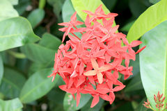 Flor roja del punto de Ixora Rey Ixora Ixora floreciente chinensis Flor del coccinea de Ixora en árbol en el jardín Flor agradabl Imágenes de archivo libres de regalías