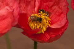 Flor roja/del rosa de la amapola con dos abejas Fotografía de archivo libre de regalías