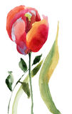 Flor roja del tulipán Foto de archivo