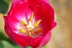 Flor roja del tulipán Fotos de archivo libres de regalías