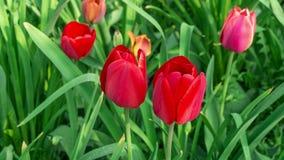 Flor roja del tulipán almacen de metraje de vídeo