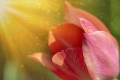 Flor roja del tulipán en la sol imagen de archivo