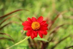 Flor roja del zinnia fotografía de archivo libre de regalías