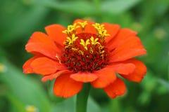 Flor roja del Zinnia con algunos pétalos Fotos de archivo libres de regalías