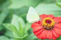 Flor roja del zinnia en el graden Fotografía de archivo libre de regalías