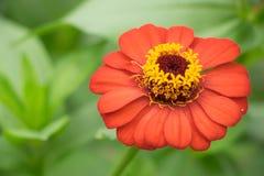 Flor roja del zinnia en el prado Fotografía de archivo
