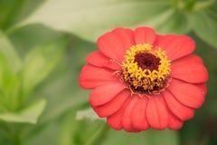 Flor roja del zinnia en el prado Fotografía de archivo libre de regalías