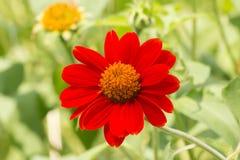 Flor roja del Zinnia en jardín Imagenes de archivo