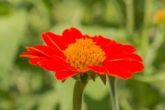 Flor roja del Zinnia en jardín Imágenes de archivo libres de regalías