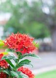Flor roja después de llover Imagenes de archivo