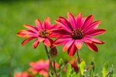 Flor roja en campo verde Foto de archivo