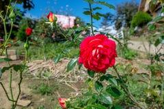 Flor roja en el jardín con la hoja para la decoración Imagenes de archivo