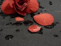 Flor roja en el papel de lija gris Fotografía de archivo