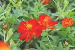 Flor roja en el parque, flor colorida Imagen de archivo libre de regalías