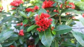Flor roja en el pequeño jardín Imagen de archivo libre de regalías