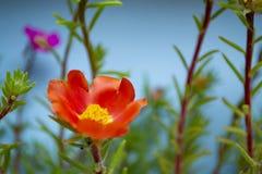 Flor roja en fondo azul Tiro macro colorido de la foto fotos de archivo libres de regalías