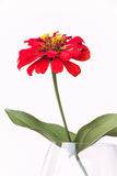 Flor roja en fondo del blanco del florero Fotos de archivo