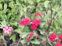 Flor roja en jardín Fotografía de archivo