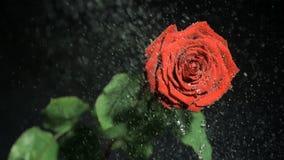Flor roja en la cámara lenta estupenda que es regada almacen de metraje de vídeo