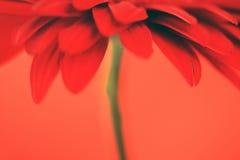 Flor roja en un fondo rojo Imágenes de archivo libres de regalías