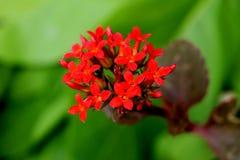 Flor roja en un jardín Fotografía de archivo libre de regalías