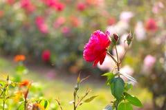 Flor roja en un jardín imagenes de archivo