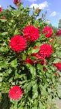 Flor roja en un parque floral Imagen de archivo libre de regalías