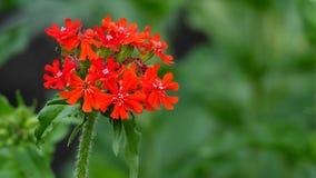 Flor roja en verano Foto de archivo