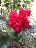 Flor roja en verde Imagenes de archivo
