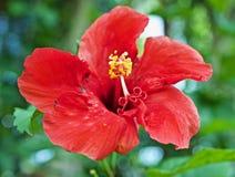 Flor roja grande fotos de archivo