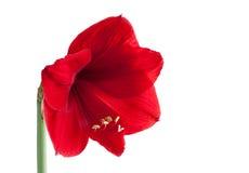 Flor roja grande 3 Imagenes de archivo