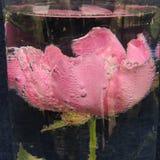 Flor roja grande con las burbujas del agua en un florero de vidrio Imagenes de archivo