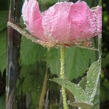 Flor roja grande con las burbujas del agua en un florero de vidrio Fotos de archivo