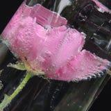 Flor roja grande con las burbujas del agua en un florero de vidrio Imagen de archivo libre de regalías
