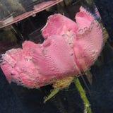 Flor roja grande con las burbujas del agua en un florero de vidrio Foto de archivo libre de regalías