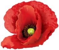 Flor roja grande de la amapola Fotografía de archivo