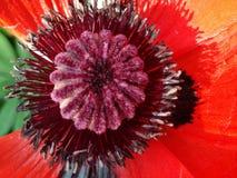 Flor roja grande de la amapola Foto de archivo libre de regalías